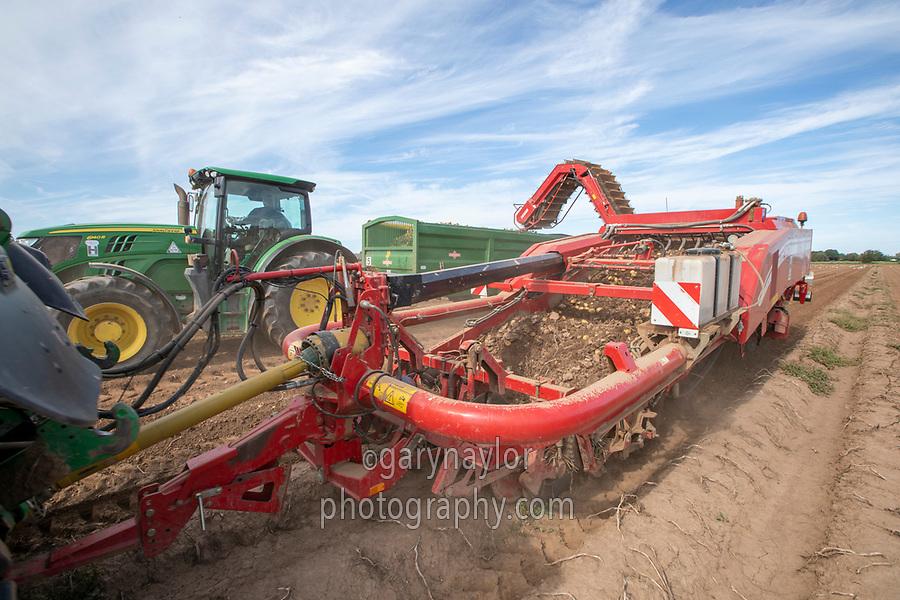 Harvesting potatoes - Lincolnshire, September