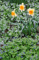 Daffodils and Forget-Me-Nots fill a suburban garden in spring, Will County, Illinois