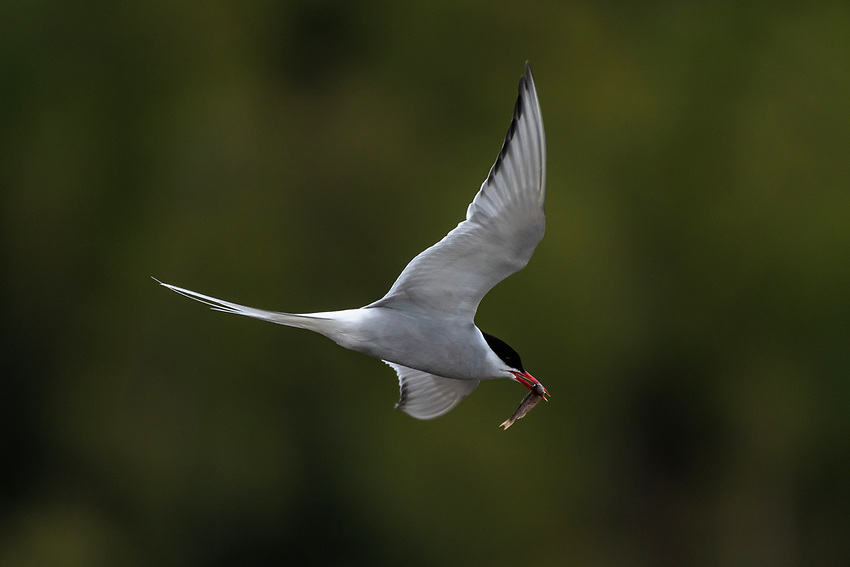 Arctic Terns (Sterna paradisae) catch Salmon Smolt in the coastal wetlands of Southcentral Alaska. Photo by James R. Evans