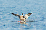 Red-breasted Merganser (Mergus serrator), male landing on water, Aurora, New York, USA