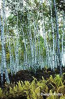 TT14-004a  Forest - white birch in autumn - Betula papyrifera