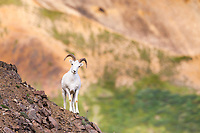 Young Dall sheep ram on a rock outcrop on Polychrome pass in Denali National Park, interior, Alaska.