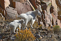 Mountain goats (Oreamnos americanus), also known as the Rocky Mountain goat, is a large-hoofed mammal found only in North America. Nannies are formidable in a fight to protect themselves and their offspring from predators, such as wolves, wolverines, cougars, lynx and bears. Even though their size protects them from most potential predators in higher altitudes (and rocky cliffs), nannies still must defend their young from golden eagles, which can be a threat to very young kids. Nannies have even been observed trying to dominate the more passive bighorn sheep that share some of their territory.