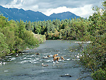 Alaska brown bears fishing at Katmai NP