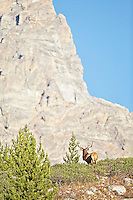 Trophy Bull Elk, Grand Teton, Jackson Hole, Wyoming<br />