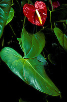 Red anthurium plant with leaves