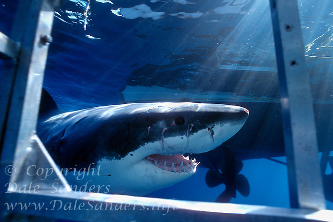 Great White Shark  (Carcharodon carcharias) swims past shark cage  off Guadalupe Island, Mexico.  Photo Copyright Protected © Dale Sanders / www.dalesanders.info  All Rights Reserved.