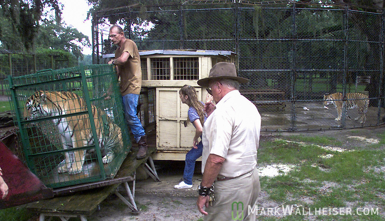 FILE PHOTO OF TIGER VICTIM<br /> Cougar trainer and lecturer Vince Lowe (standing at left) helps move a female Siberian tiger two weeks ago into a breeding pen as longtime owner of Savage Kingdom near Bushnell, Florida and breeder Robert Baudy (R-in hat) looks on.  Lowe, who was in the process of getting his tiger license was killed by different tiger today at the breeding facility 40 miles south of Ocala.