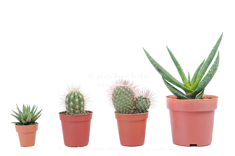 Four different varieties of cactus in pots, studio shot, white background