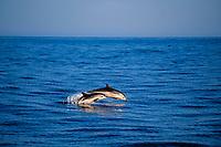 striped dolphin and calf, Stenella coeruleoalba, leaping, Azores Islands, Portugal, North Atlantic Ocean