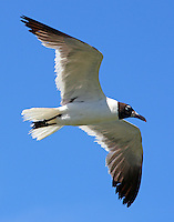 Post breeding adult laughing gull