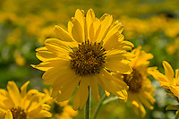 Arrowleaf Balsamroot (Balsamorhiza sagittata) wildflowers.  Columbia River Gorge, WA.  April.