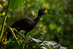 Great Curassow (Crax rubra) male, Osa Peninsula, Costa Rica