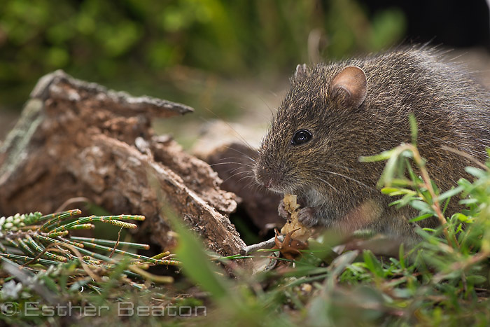 Eastern Chestnut Mouse (Pseudomys gracilicaudatus), Booderee National Park, Jervis Bay Territory, New South Wales