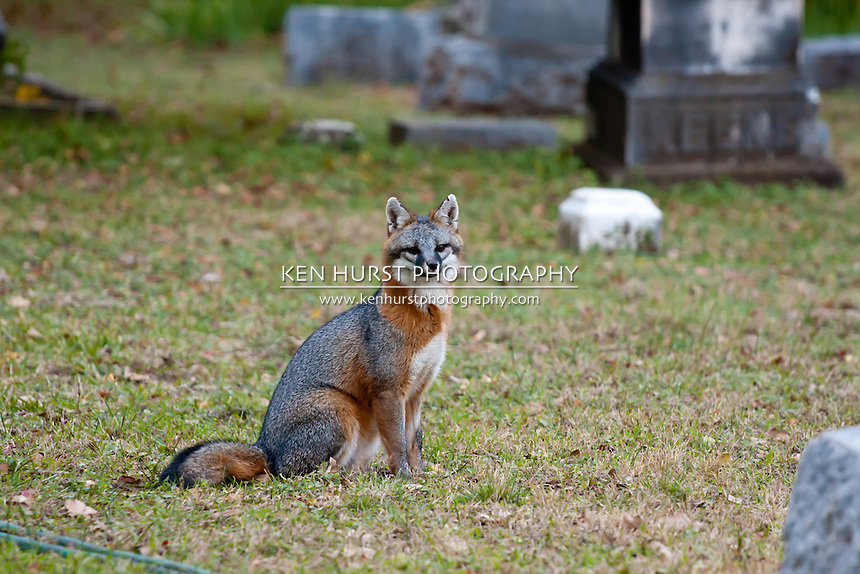 Fox among tombstones and grave markers in a cemetery.