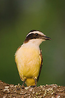 Great Kiskadee, Pitangus sulphuratus, adult, Willacy County, Rio Grande Valley, Texas, USA, June 2006