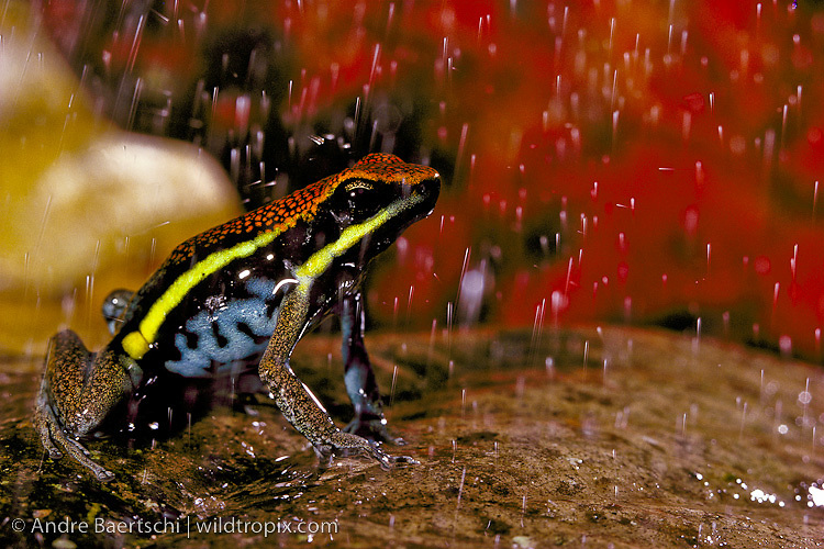 Manu poison frog (Ameerega macero) male calling in the rain among leaf litter in lowland tropical rainforest, Manu National Park, Madre de Dios, Peru.