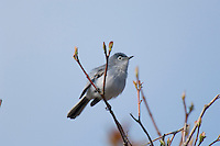 Male Blue-gray Gnatcatcher (Polioptila caerulea).  Great Lakes region.  May.
