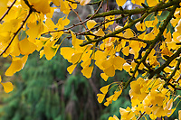 Ginkgo biloba tree leaves in golden fall color in San Francisco Botanical Garden