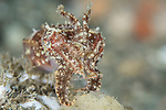 Broadclub cuttlefish defensive mode with tentacles up, Sepia latimanus