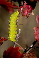 A catapiller in fall near the Buffalo National River in Arkansas