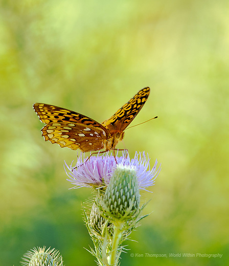 Great Spangled Fritillary (Speyeria cybele) on the Schulenberg Prairie, The Morton Arboretum