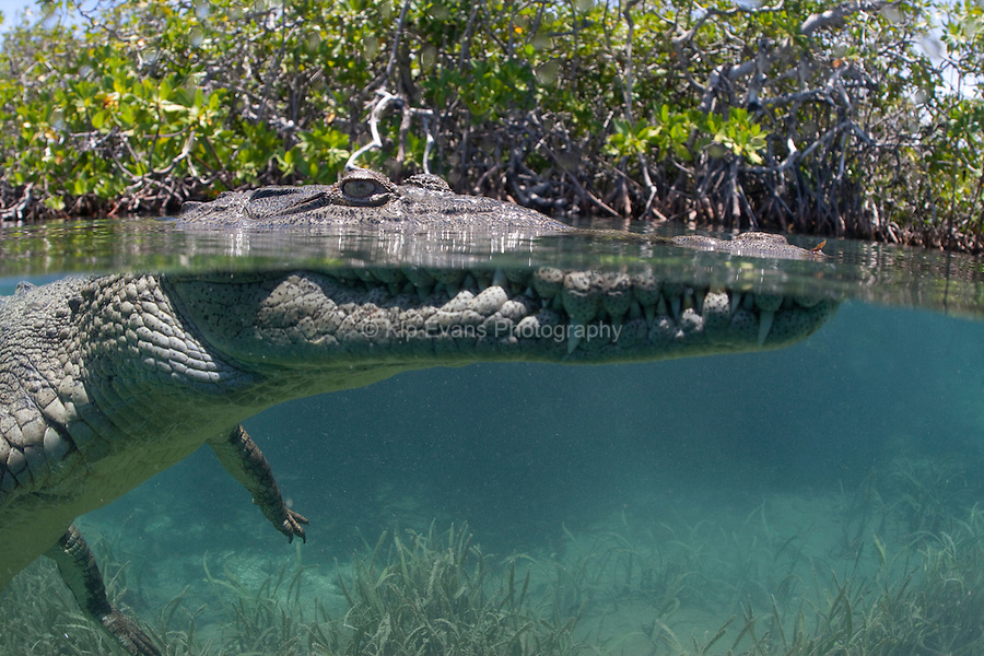 A split-water view of an American Crocodile swimming through a mangrove forest off the coast of Cuba.