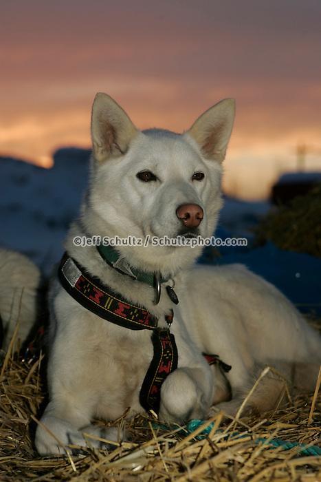 "Jim Lanier's dog ""cripple"" rests on Wednesday morning at the Nikolai checkpoint.  2005 Iditarod Trail Sled Dog Race."