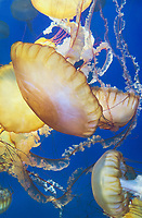 435250008 pacific sea nettle chrysaora fuscescens swim and float in their aquarium at the long beach aquarium in long beach california