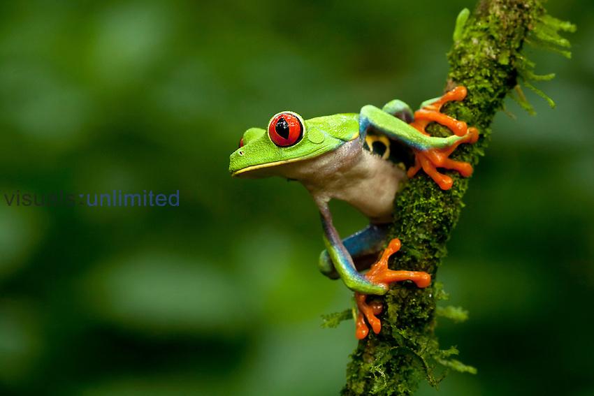 Red-Eyed Tree Frog (Agalychnis callidryas), Costa Rica.
