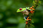 Red-Eyed Tree Frog (Agalychnis callidryas), Costa Rica.