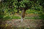 Fallen apples surround its tree at Gowan's Oak Tree apple orchard, in Philo, Ca., on Sunday, Oct. 10, 2010.