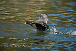 American Coot (Fulica americana) adult taking flight by running across water's surface, Orange County, California, USA