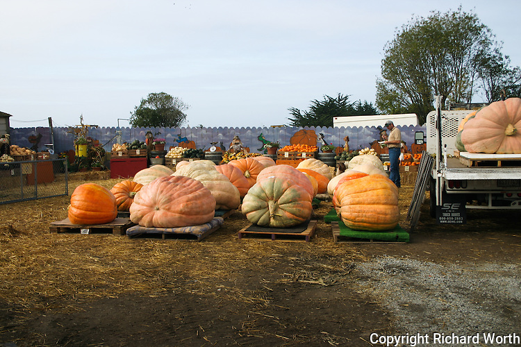 Giant Pumpkins, from 200 to 1,000 pounds, unloaded and staged at Pumpkin Depot in Half Moon Bay, California.