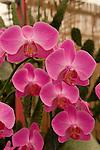 Israel, Sharon region. Orchids in Utopia Park