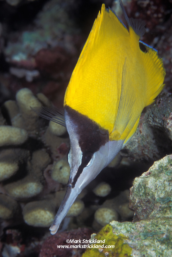 Appropriately named, a Long-nosed butterflyfish, Forcipiger longirostris, forages amidst coral rubble.  Similan Islands Marine National Park, Thailand, Andaman Sea.