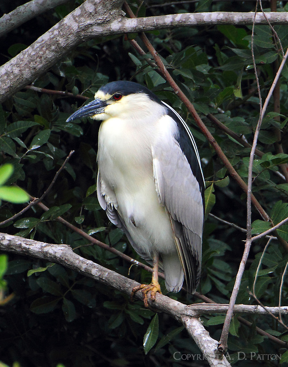 Adult black-crowned night-heron roosting
