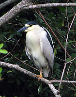 Adult black-crowned night-heron roosting
