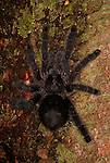 Tarantula Spider, Purple Pink Toed, Avicularia purpurea, Ecuador, on tree trunk.South America....
