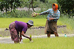 Harvesting rice. Rural life in Punakha, Bhutan..Bhutan the country that prides itself on the development of 'Gross National Happiness' rather than GNP. This attitude pervades education, government, proclamations by royalty and politicians alike, and in the daily life of Bhutanese people. Strong adherence and respect for a royal family and Buddhism, mean the people generally follow what they are told and taught. There are of course contradictions between the modern and tradional world more often seen in urban rather than rural contexts. Phallic images of huge penises adorn the traditional homes, surrounded by animal spirits; Gross National Penis. Slow development, and fending off the modern world, television only introduced ten years ago, the lack of intrusive tourism, as tourists need to pay a daily minimum entry of $250, ecotourism for the rich, leaves a relatively unworldly populace, but with very high literacy, good health service and payments to peasants to not kill wild animals, or misuse forest, enables sustainable development and protects the country's natural heritage. Whilst various hydro-electric schemes, cash crops including apples, pull in import revenue, and Bhutan is helped with aid from the international community. Its population is only a meagre 700,000. Indian and Nepalese workers carry out the menial road and construction work.