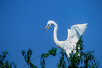 525006516 a wild great egret casmerodius albus perches in a large tree in an egret and heron rookery in southern louisiana