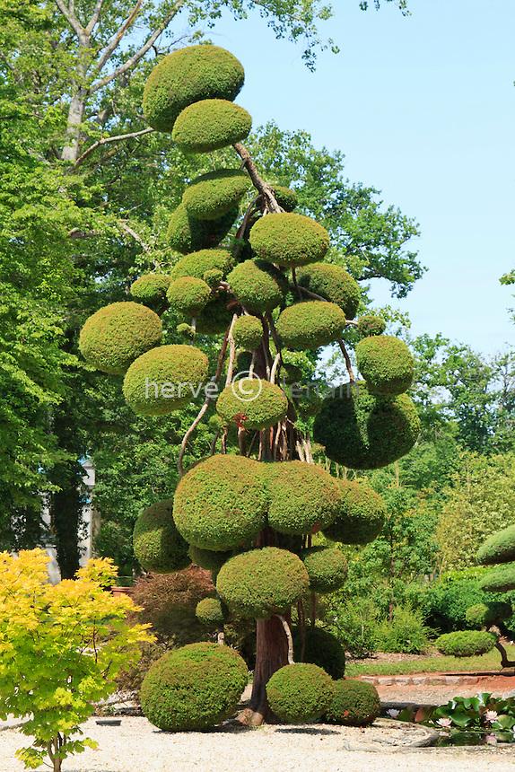 Parc Floral de la Source, le Jardin de Formes inspiré des jardins zen. Genévrier (Juniperus sp.) taillé en nuages // France, Parc Floral de la Source, juniper pruned in balls.