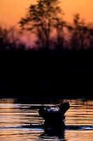 A Hippo 'gurgles' at dusk in the Okavango Delta.