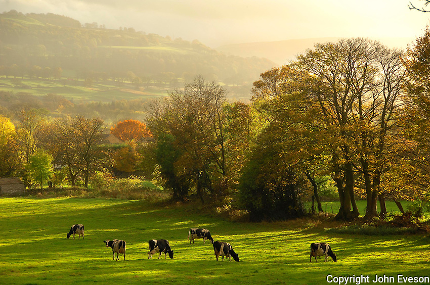 Holstein milking cattle grazing  at Redmire, North Yorkshire. Autumn scene .