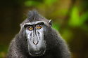 Male crested black macaque (Macaca nigra), Indonesia, Sulawesi; Endangered species, threatened through loss of habitat and bush meat trade; Species only occurs on Sulawesi.