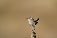 598030018 a wild bewick's wren thryomanes bewickii  perched on a twig in kern county california united states