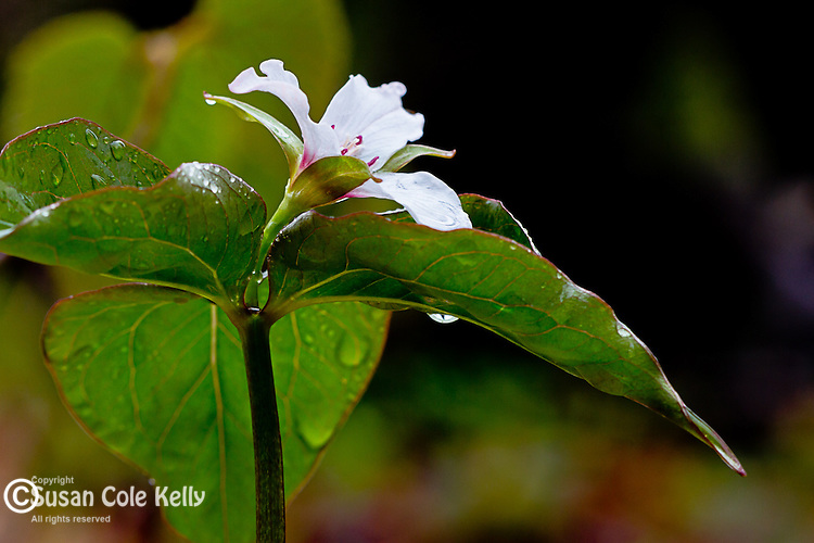 Painted Trillium (Trillium undulatum) in the White Mountain National Forest, New Hampshire, USA