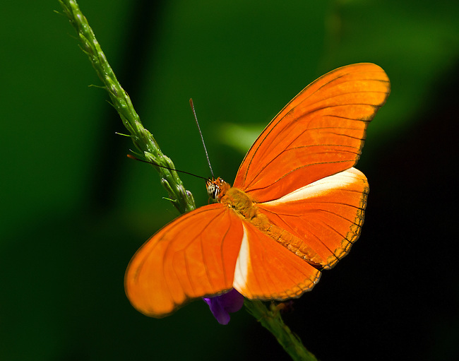 A male Julia Dryas sits on a vine showing its bright orange wings, white tinged hind wing, segmented eyes and orange-tipped antennae against a green background.
