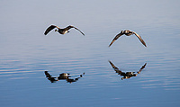 A pair of Canada Geese fly low over Yellowstone Lake.