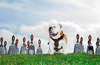 Champ surrounded by chrome cowbells on a grassy hill. (photo by Beth Wynn / © Mississippi State University)